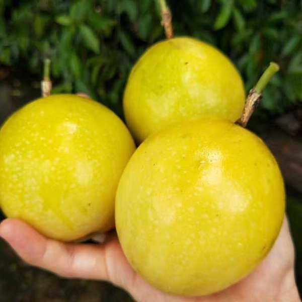【领劵立减5元  3斤中果】现摘黄金百香果芭乐味黄皮西番莲大果多规格孕妇新鲜水果开果器甜