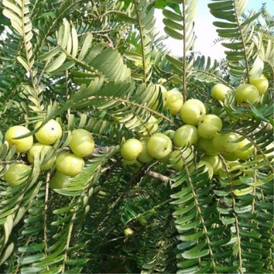 精选现摘油甘果买2斤送1斤,买3斤送2斤,牛甘果,余甘子,滇橄榄