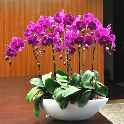 蝴蝶兰花苗盆栽室内花卉绿植四季水培植物盆景牡丹花月季玫瑰花苗
