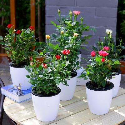 【亏本送工具带花发货四季开花】迷你玫瑰花苗月季花绿植花卉盆栽