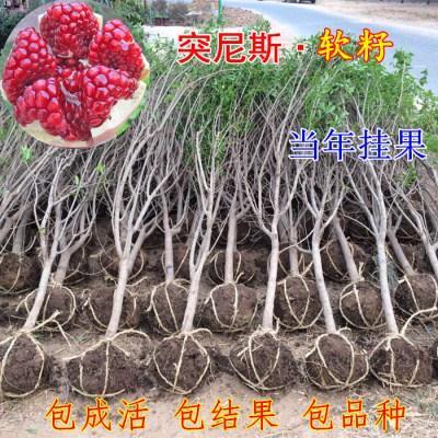 包邮包成活突尼斯软籽石榴树苗四季红石榴苗水晶无籽南方北方种植