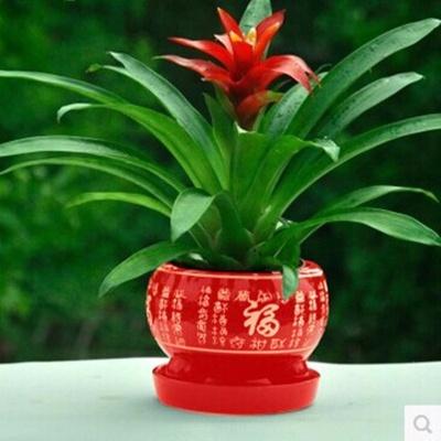 【带盆送肥】鸿运当头盆栽四季开花红星凤梨花卉菠萝绿植阳台室内