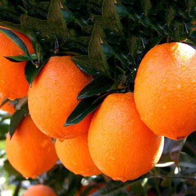 【特价500单&坏果包赔】正宗赣南脐橙5/10斤新鲜水果孕妇橙子批发主图