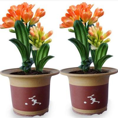 君子兰花苗盆栽当年开花室内带花卉绿植庭院观花植物阳台四季盆景