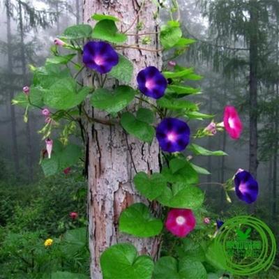 散装大牵牛花种子四季种易活花卉盆栽绿植盆景花草植物爬藤喇叭花